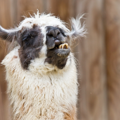 And here is a llama. (Photo via sxc.hu, by Krappweis.)